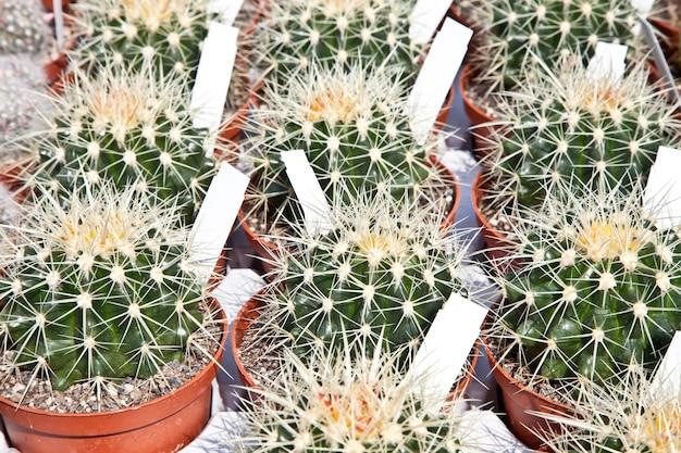 Małe kaktusy na targu w słoneczny dzień