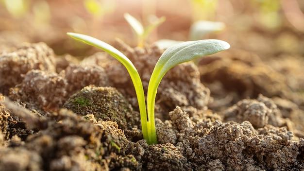 Małe kiełki w zbliżeniu do ziemi, zdjęcie makro. pojęcie ogrodnictwa, uprawy warzyw. baner 16: 9