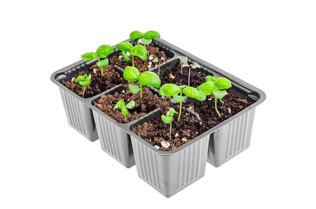 Małe kiełki zielonej bazylii uprawiane w plastikowych pojemnikach