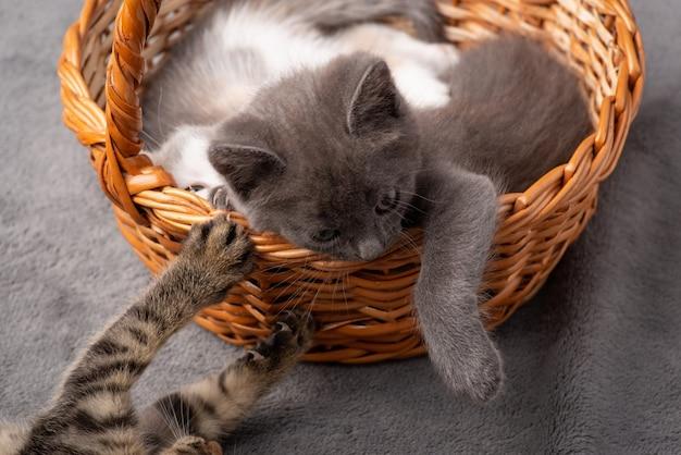 Małe kocięta bawiące się. wiele małych kotów bawi się ze sobą w koszu.
