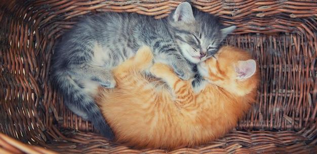 Małe kocięta są szare i czerwone.