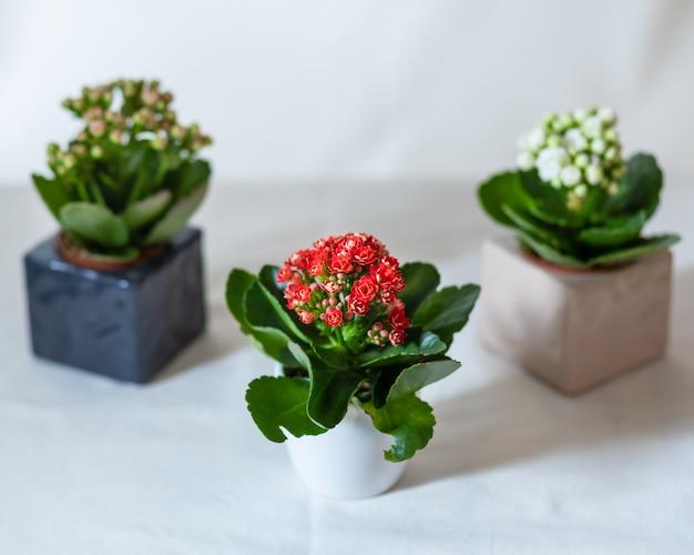 Małe kolorowe rośliny kwiat lantana camara z bliska