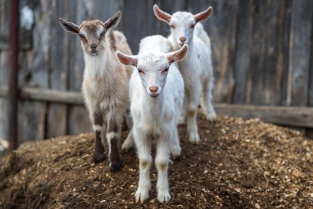 Małe kozy na podwórku.