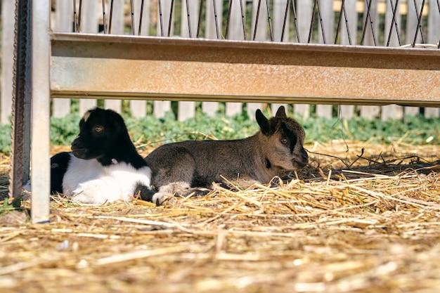 Małe kozy odpoczywają na wyblakłej trawie na podwórku