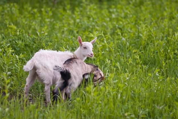 Małe kozy w terenie
