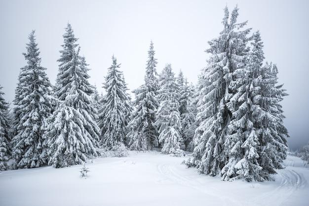 Małe, kruche drzewo pokryte szronem samotnie wyrasta z zaspy śnieżnej na tle gigantycznych, wielowiekowych, rozmytych, śnieżnych jodeł.