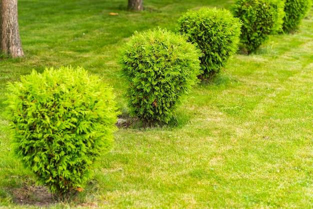 Małe krzaki na trawniku, krzaki tuya