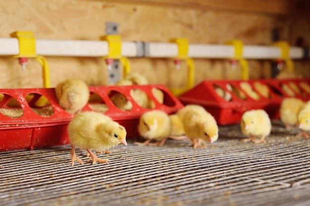 Małe kurczaki lub przepiórki to woda pitna