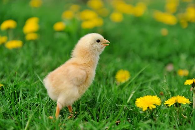Małe kurczaki na trawie