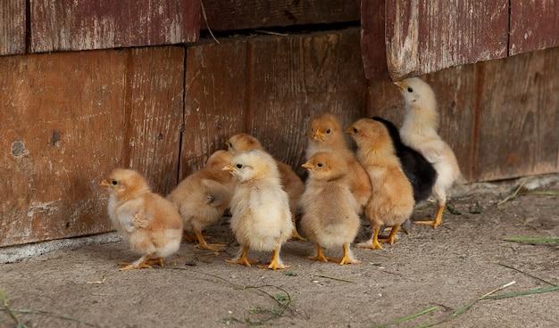 Małe kurczaki wygrzewają się pod lampą w jego zagrodzie, usiane trocinami. jeden z nich patrzy bezpośrednio na nas.