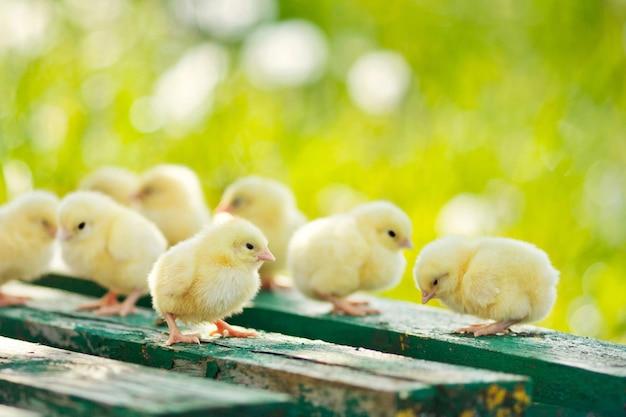 Małe kury i jajka na drewnianym stole. zielony bsckground. skopiuj miejsce