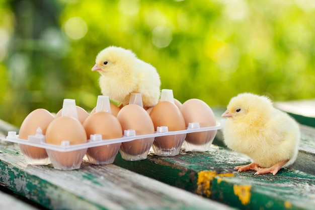 Małe kury i jajka na drewnianym stole. zielony bsckground.