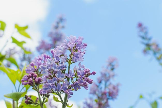 Małe kwiaty bzu w krzaku na tle błękitnego nieba