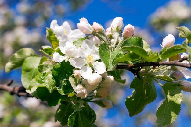 Małe kwiaty jabłoni podczas kwitnienia w sadzie. zbliżenie w sezonie wiosennym. mała głębia ostrości.
