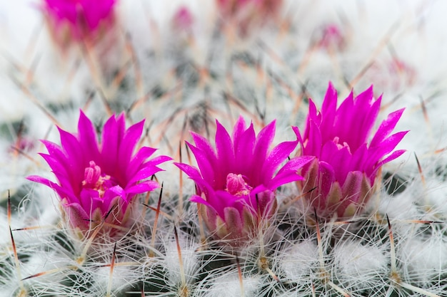 Małe kwiaty kaktusa