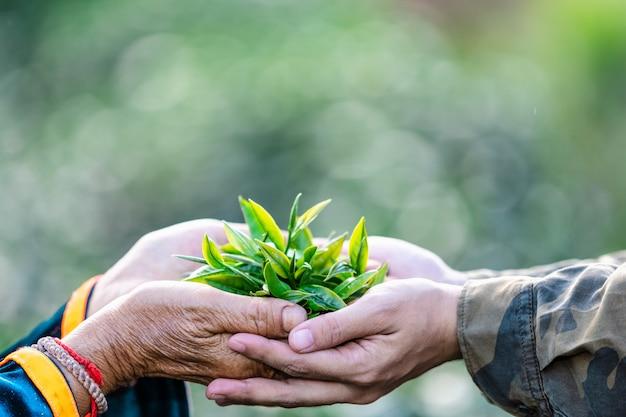 Małe liście zielonej herbaty na trzymając się za ręce