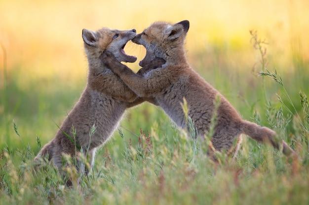 Małe lisy o beżowym futrze walczą między sobą wśród traw