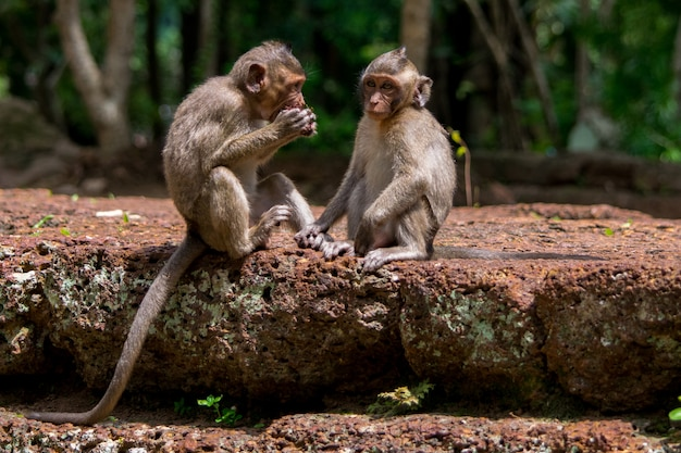 Małe małpy makaki dzielą się jedzeniem w kambodży