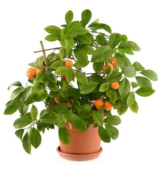 Małe mandarynki