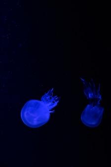 Małe meduzy oświetlone niebieskim światłem pływającym w akwarium. abstrakcyjne tło. wolne miejsce na tekst