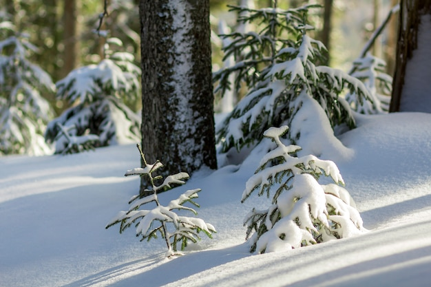 Małe młode zielone jodły pokryte śniegiem