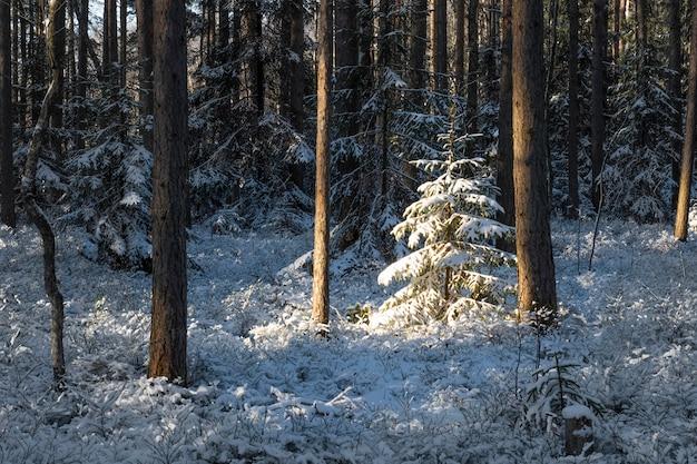 Małe, nasłonecznione choinki pokryte świeżym śniegiem w bajecznym zimowym lesie sosnowym