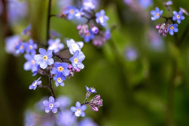 Małe niebieskie kwiaty myosotis w zielonej trawie