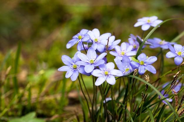 Małe niebieskie wiosenne kwiaty pojawiające się na początku wiosny