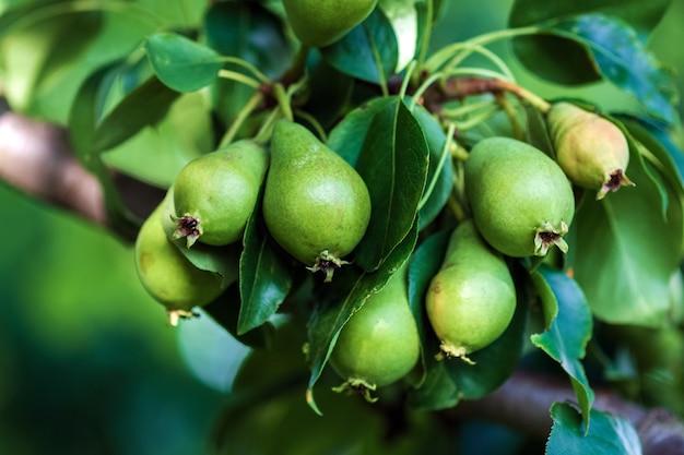 Małe niedojrzałe zielone owoce gruszki na drzewie