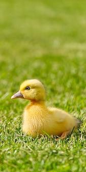Małe nowonarodzone kaczuszki chodzenia na podwórku na zielonej trawie. żółte słodkie kaczątko działa na łące w słoneczny dzień. sztandar lub panoramiczny strzał z pisklę kaczki na trawie.