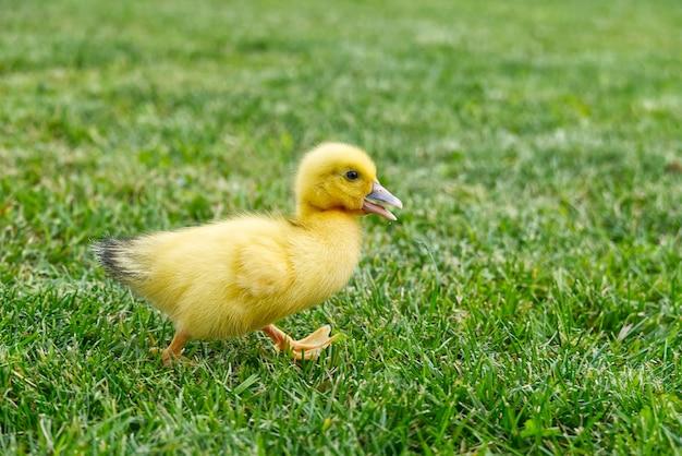 Małe nowonarodzone kaczuszki chodzenia na podwórku na zielonej trawie. żółte słodkie kaczątko działa na łące w słoneczny dzień.