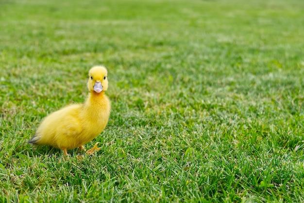 Małe nowonarodzone kaczuszki chodzenia na podwórku na zielonej trawie
