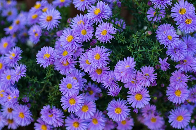 Małe ogrodowe fioletowe kwiaty astra. grupa astry alpejskie aster alpinus. zdjęcie z bliska. pełna ramka. tło