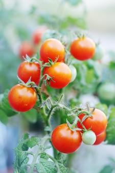 Małe organiczne czerwone pomidorki koktajlowe na gałęzi
