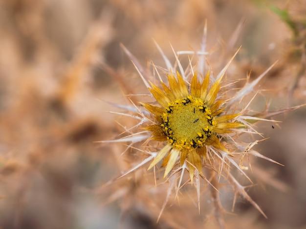 Małe owady na kwiat ostu.
