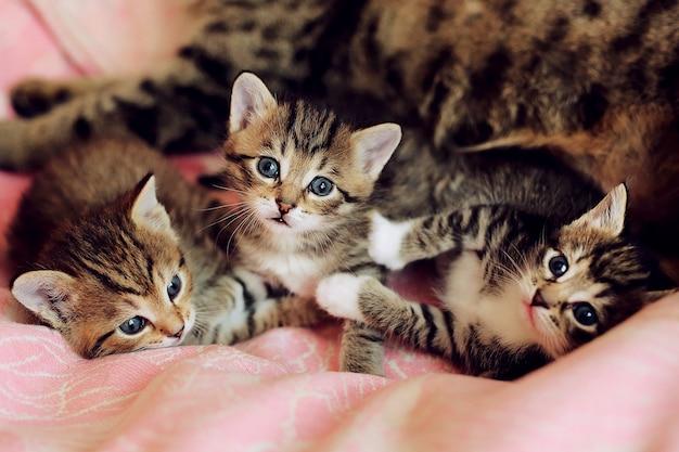 Małe pasiaste figlarki bawić się z macierzystym kotem. furry brzuch kota. śmieszne zwierzęta