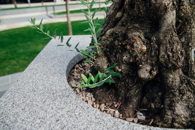Małe pędy drzewa oliwnego. nowe zielone gałęzie. cienkie długie liście. drzewo odradza się po zimie.