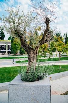 Małe pędy drzewa oliwnego. nowe zielone gałęzie i suche, drzewo odradza się po zimie. cienkie długie liście. drzewo w publicznym parku.