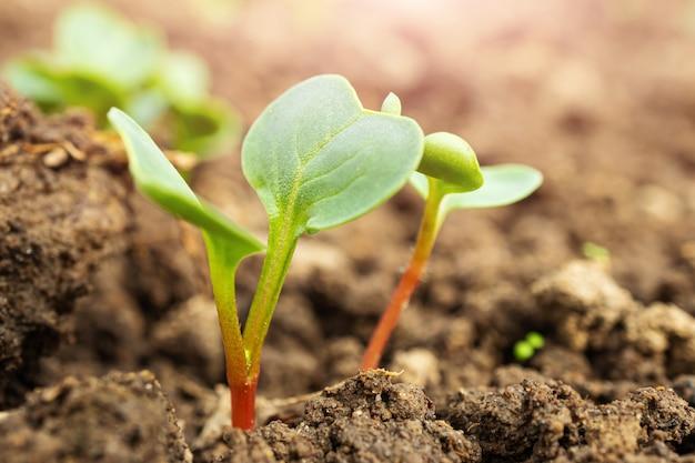 Małe pędy rzodkiewki w zbliżeniu ziemi, zdjęcie makro. pojęcie ogrodnictwa, uprawy warzyw.