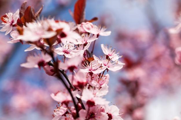 Małe piękne kwitnące czerwone kwiaty wiśni w sadzie
