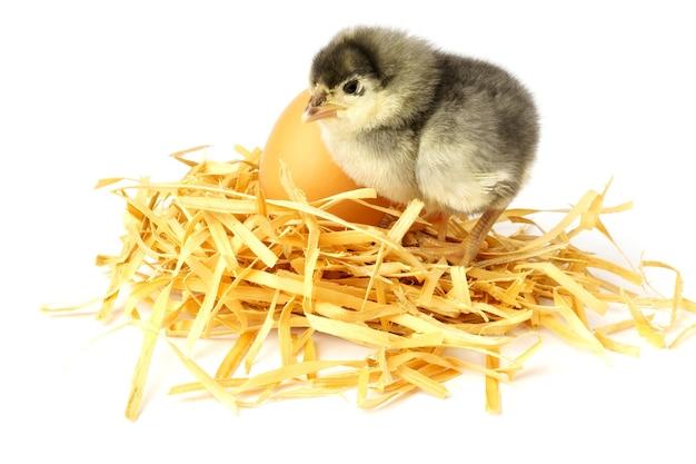 Małe pisklę na białym tle. pisklę siedzi na domowym gnieździe obok jajka.