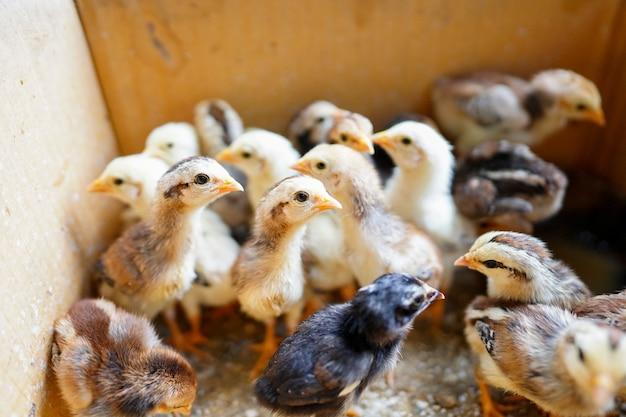 Małe pisklęta zostały zebrane w kartonach, ponieważ zostały porzucone przez kurę.