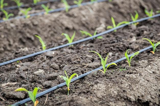 Małe pole kukurydzy z nawadnianiem kroplowym