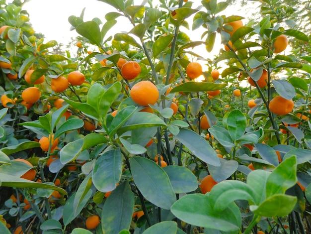 Małe pomarańcze na drzewie