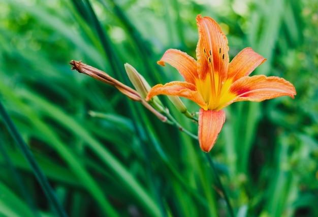 Małe pomarańczowe lilie w ogrodzie