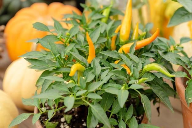 Małe pomarańczowe papryczki jalapeno rosną w glinianych doniczkach obok dyń podczas dożynek. gospodarstwo ekologiczne warzywa.