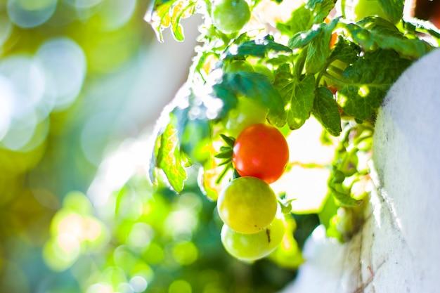 Małe pomidory czereśniowe makro i zbliżenie, na zewnątrz i światło słoneczne