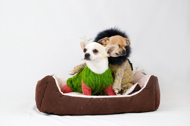 Małe psy chihuahua w łóżku