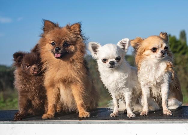 Małe psy siedzą