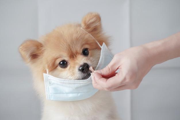 Małe rasy psów lub pomorskie z brązowymi włosami siedzącymi na białym stole i noszącymi maskę w celu ochrony przed zanieczyszczeniem lub chorobą